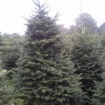 Nordmann Christmas Trees available from Friday 25th November Prices from £20