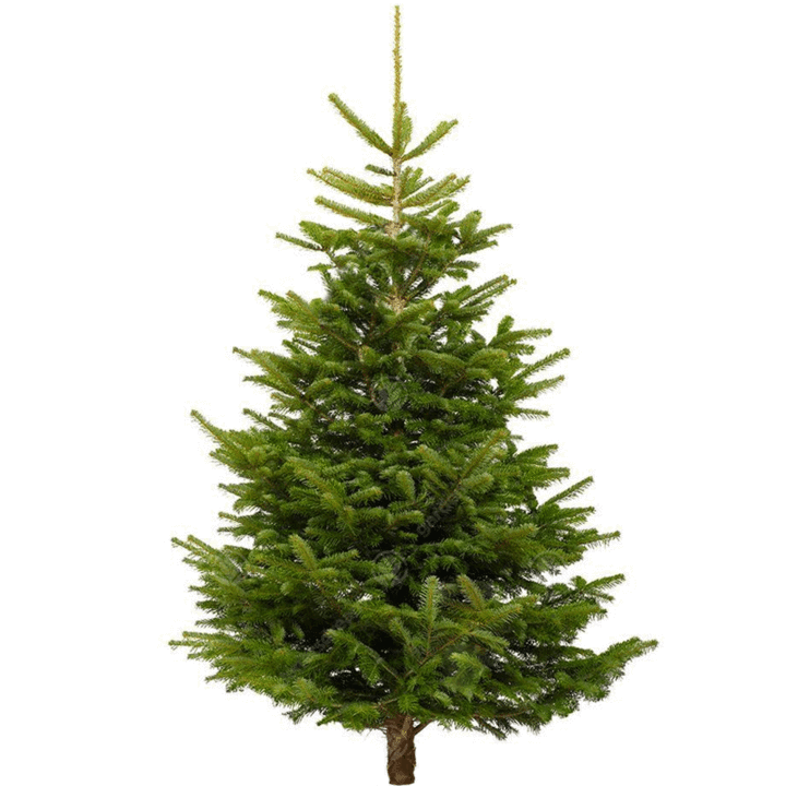 Nordmann No Drop Christmas Tree