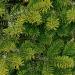 Nordmann No Drop Christmas Tree 2